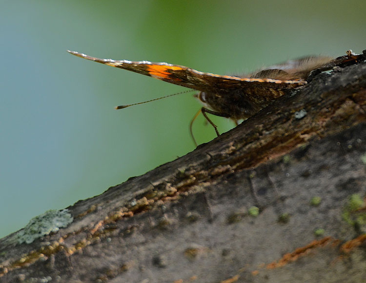 Red Admiral butterfly (Vanessa atalanta) feeding at a tree sap flow.