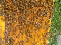 Cara berternak lebah madu dengan mudah