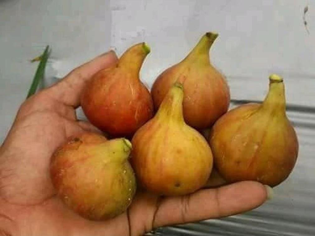 bibit buah tin syirian honey FC fresh cangkok Medan