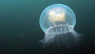 معنى قنديل البحر في حلم الحامل