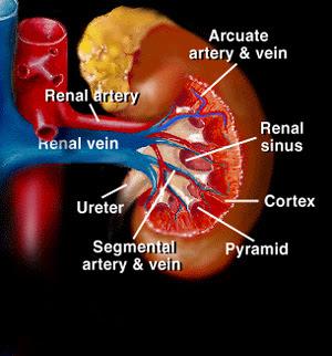 Anatomi & Fisiologi Sistem Uropoetica