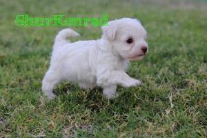 Cachorro que edad tiene Cachorra ShurKonrad