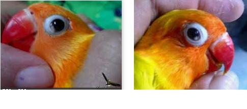 Penyakit snot Burung Kicau