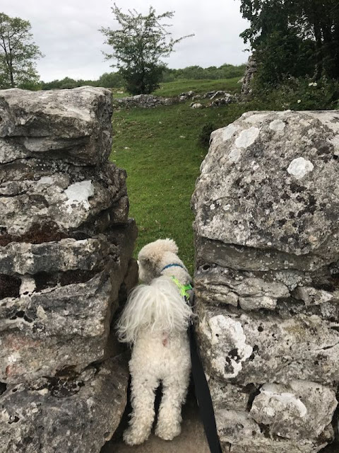 bichon frise on stile