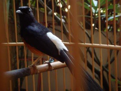 Problem Utama Burung Murai Batu