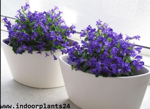 Campanula Isophylla indoor house plant image