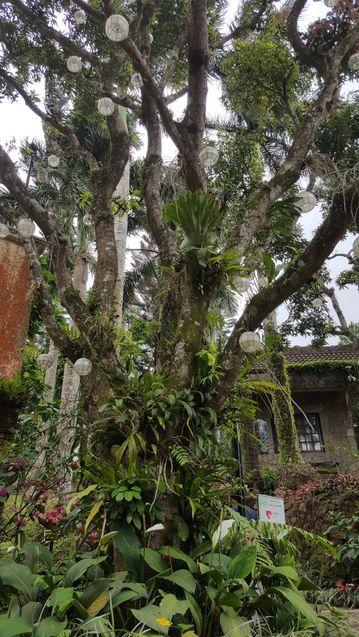 A tree in Caleruega