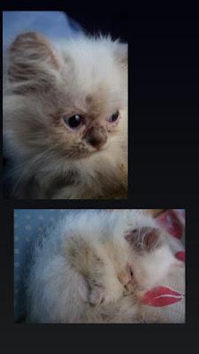 Kucing peliharaan jamuran