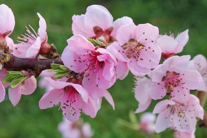 """Dịch thuật: Hoa đào năm ngoái còn cười gió đông (2748) (""""Truyện Kiều"""")"""