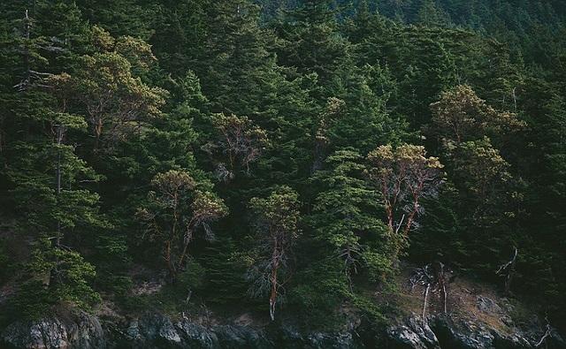 Abedul negro Betula nigra