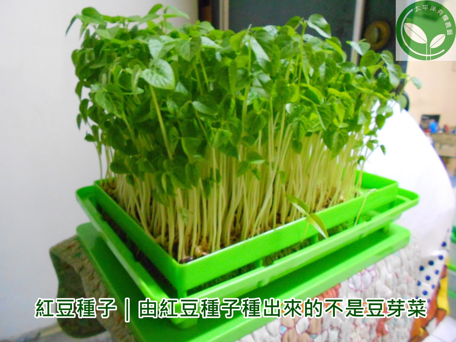 紅豆芽菜種子|有機紅豆芽菜苗:太平洋有機農藝-芽菜種子/芽菜機/豆芽機/芽菜箱/水耕盤