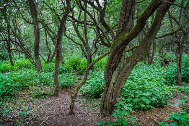 A tangle of trees in the Brampton Wood Nature Reserve