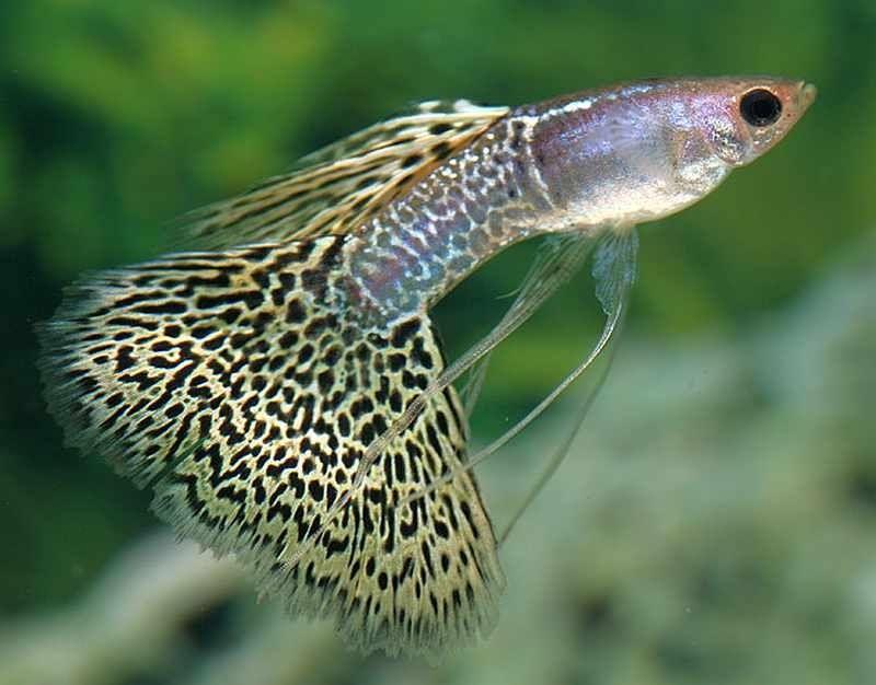 Gambar Ikan Guppy Veiltail