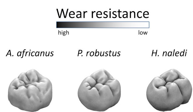 Homo naledi had wear-resistant molars