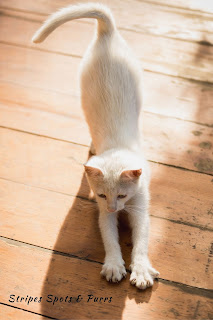 White cat kneading while stretching
