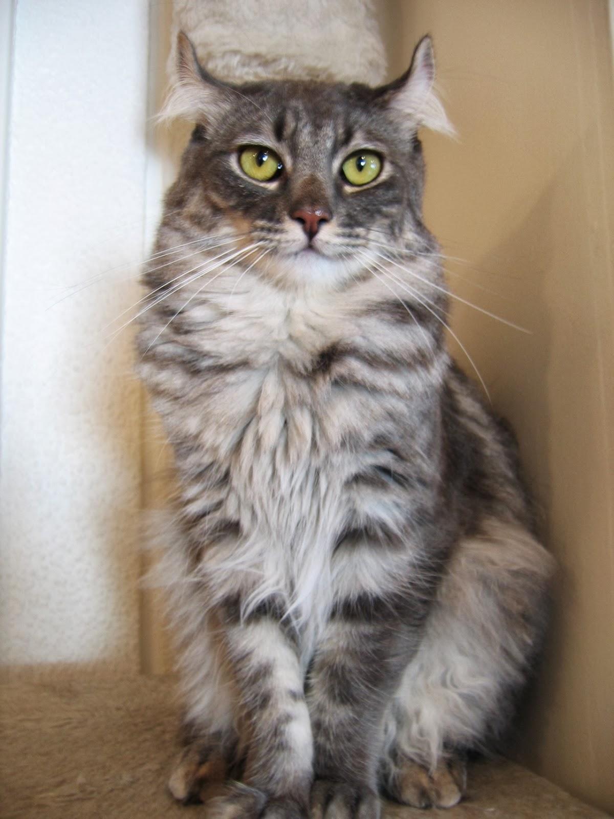 American Curl Russia Cat Lucky: American Cu...