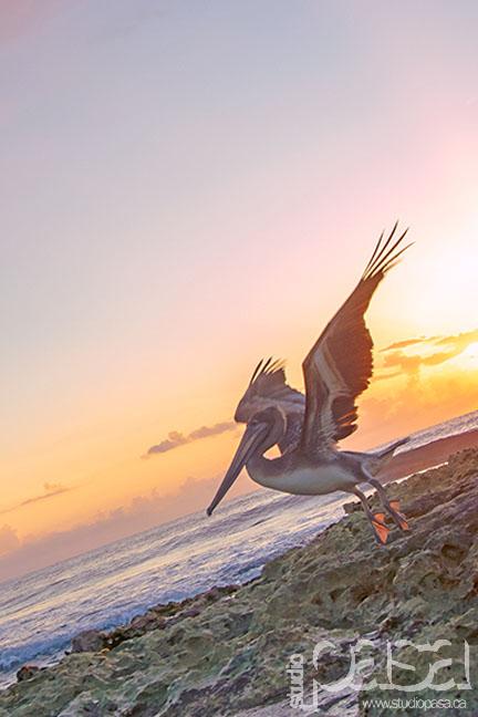 Pelican | Riviera Maya