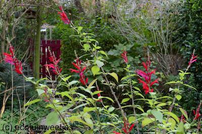 herfstbloeier ananassalie met rode bloemen voor bijen