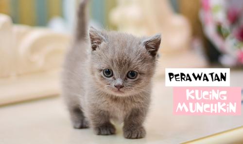 Cara Merawat Kucing Munchkin