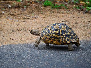 memelihara-kura-kura-tortoise.jpg