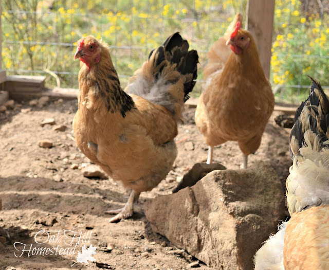 A pile of large rocks is a fun place to hunt for bugs - keeping your chickens happy.