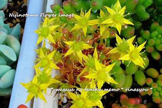 虹の玉の花