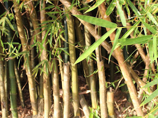 cara-mematikan-pohon-bambu.jpg