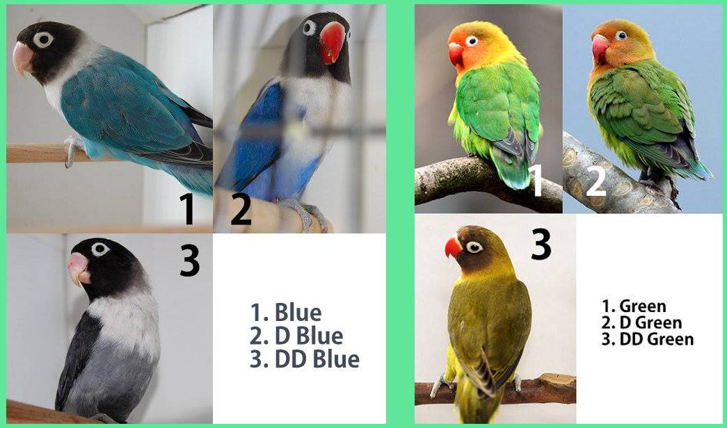 86+ Gambar Lovebird Dark Green