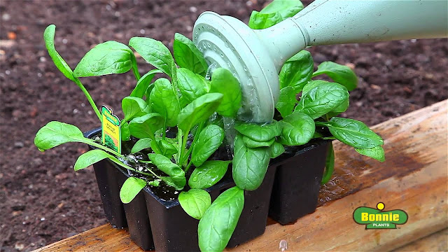 Growing Arugula Plants