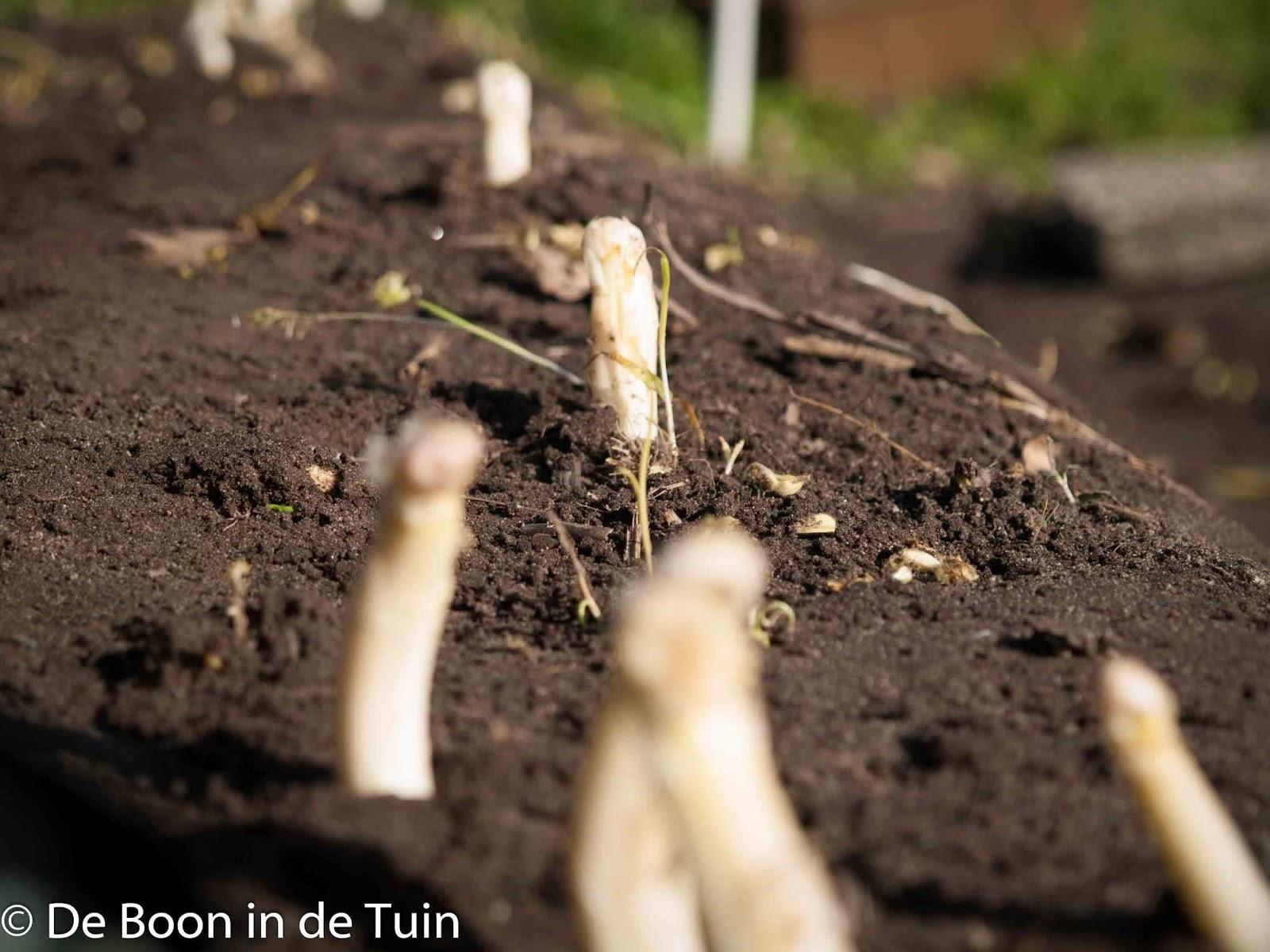 asperges volkstuin moestuin voorjaar kweken telen tips