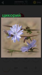 ветки на которых растут голубые цветы цикорий