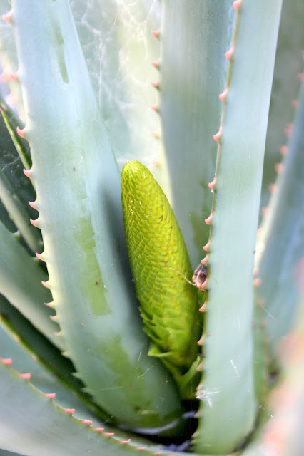 Aloe castanea with inflorescence close up