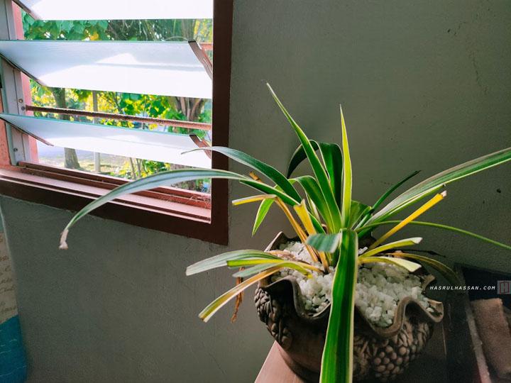 Pokok Lily Spider
