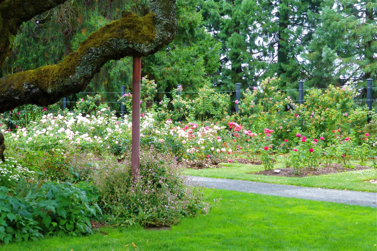 Owen Rose Garden, Heritage Cherry Tree, Heritage Tree, cherry tree, rose garden, roses