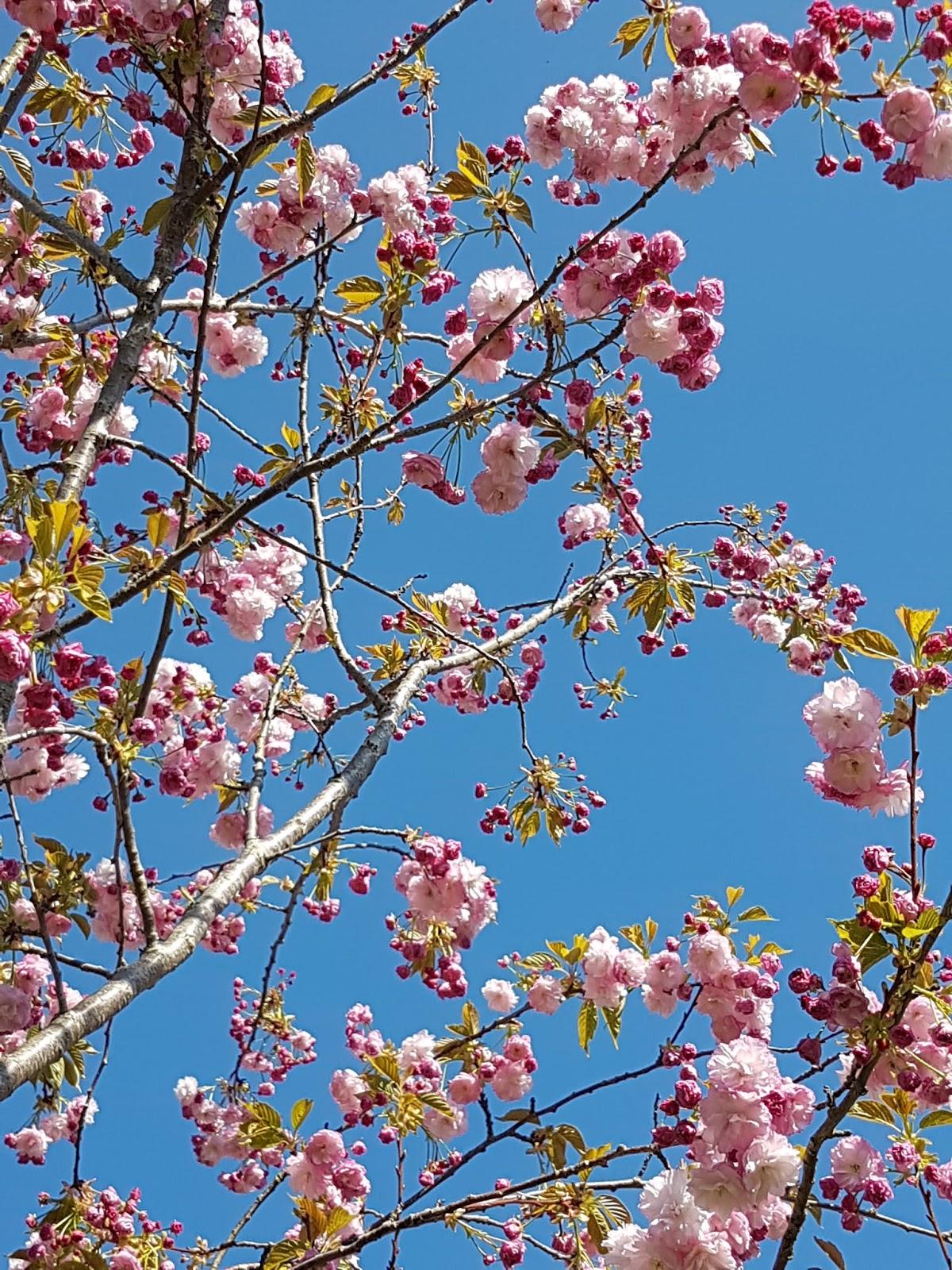 Michael Peverett: cherry blossom in Bath