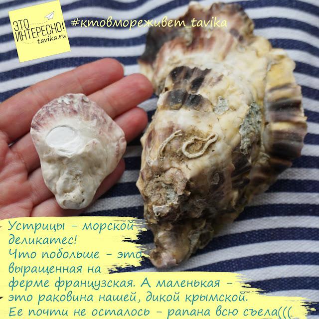 сравнение крымских и французских устриц