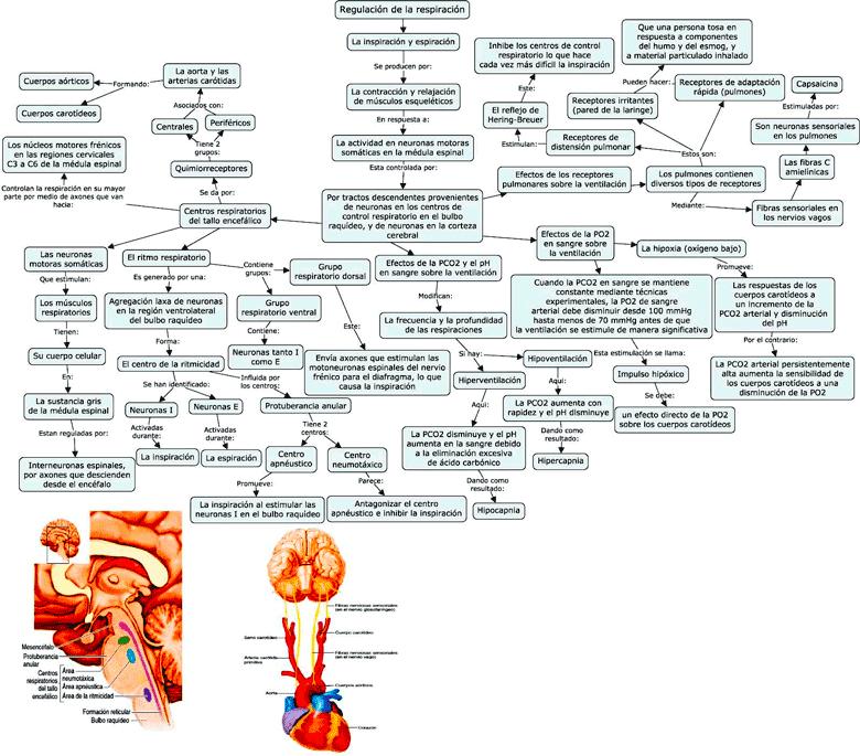 Mapa conceptual sobre la regulación de la respiración
