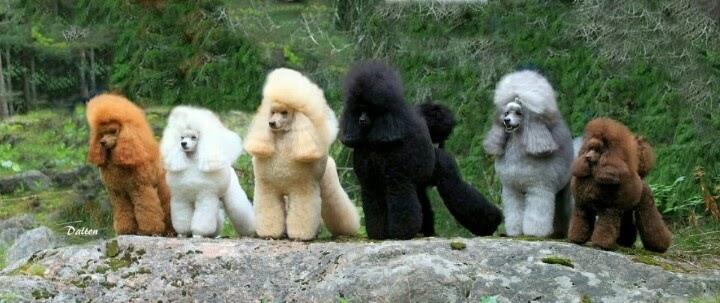 Poodle Haircut Poodles One Of Each Color Please