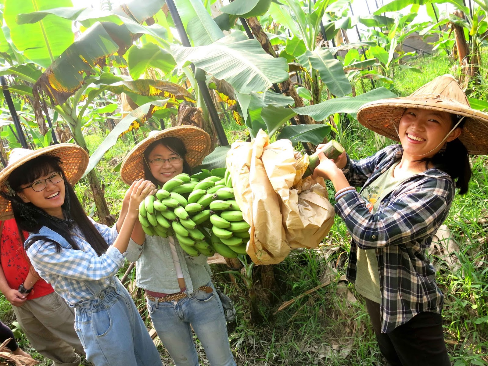 「臺灣香蕉」─旗山的生命樂章@ 諸緣來去何增減?笑擁斜陽照海天。。。 PChome 個人新聞臺