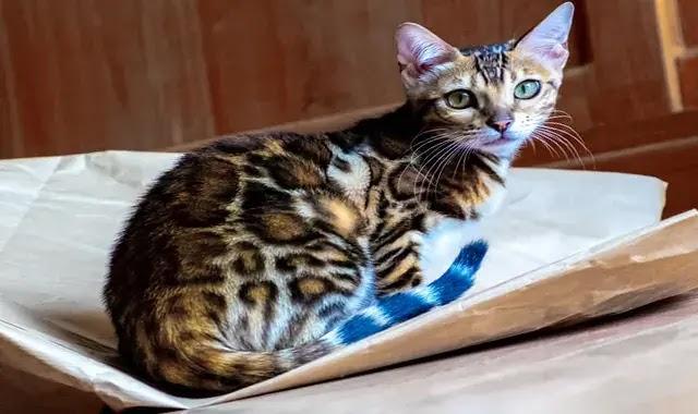 chat Bengal : caractère, santé, alimentation, prix et entretien
