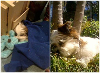 Chanel Paige - Chihuahua cross Shitzu Puppy