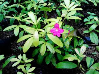 tanaman hias lovenia