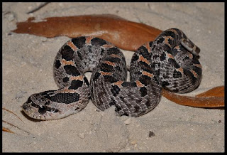 Non-Poisonous Snakes of Florida - Phillip's Natural World