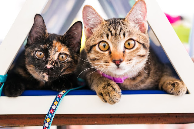 Two therapy cats are looking into the camera, one a tortoiseshell, and the other a brown tabby.