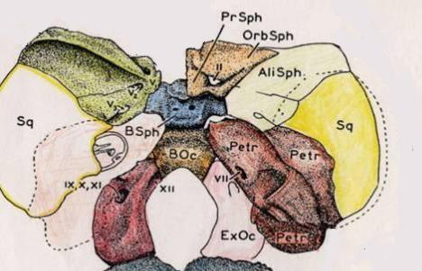 пресфеноид постсфеноид, орбитальная часть малого крыла клиновидной кости, большое крыло  тело затылочной кости, каменистая часть височной кости, чешуя височной кости