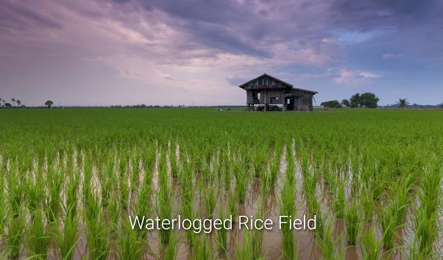 "Alt: = ""photo showing waterlogged rice farm"""