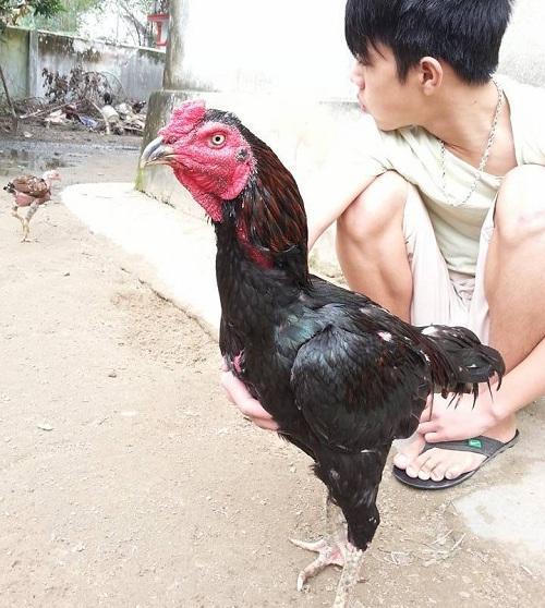 Hình ảnh về những chú gà chọi đẹp nhất Việt Nam