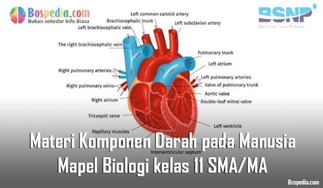 Materi Komponen Darah pada Manusia Mapel Biologi kelas 11 SMA/MA