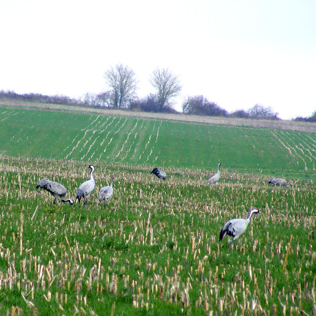 Common Cranes Grus grus feeding in fallow croplands, Indre, France. Photo by Loire Valley Time Travel.