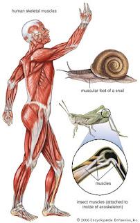 Sistem muskular pada berbagai organisme